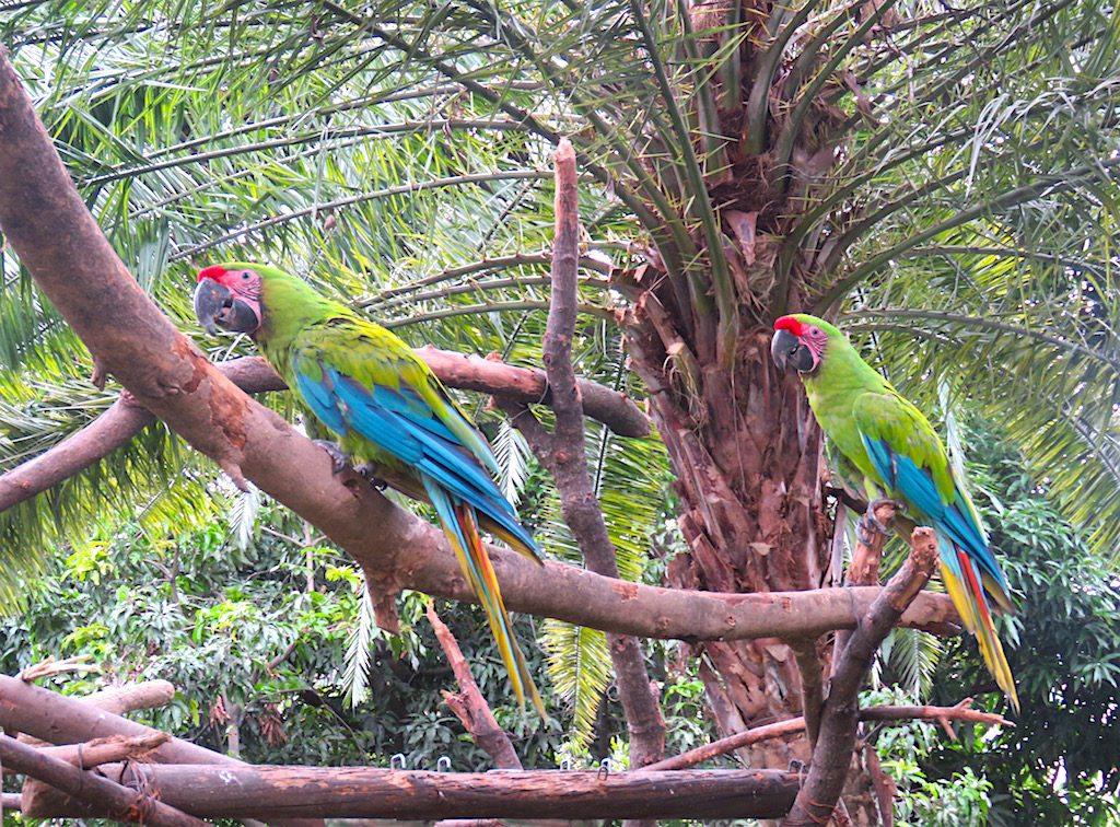 Great Green Macaws at Zoológico Santa Fe