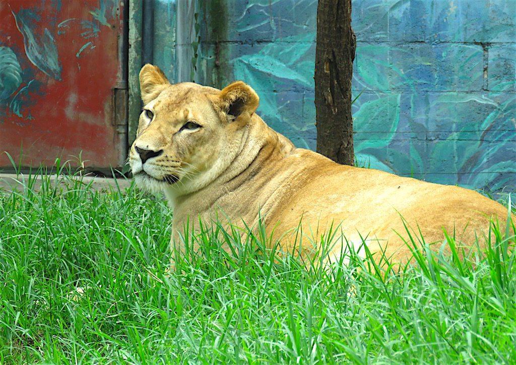 Lion at Zoológico Santa Fe in Medellín