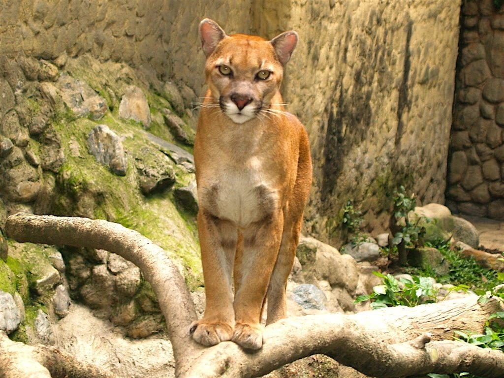Puma at the Medellín Zoo, photo by Jbarreirol